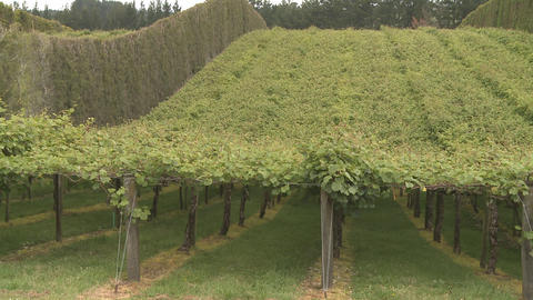 Kiwifruit orchard Stock Video Footage