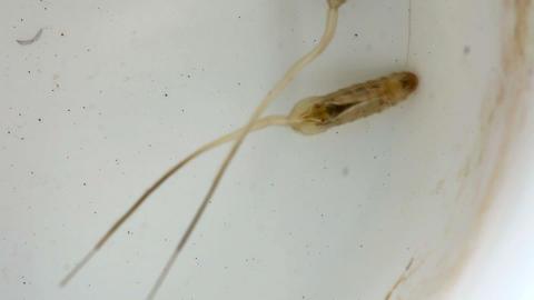 Mosquito crane-fly larva Stock Video Footage