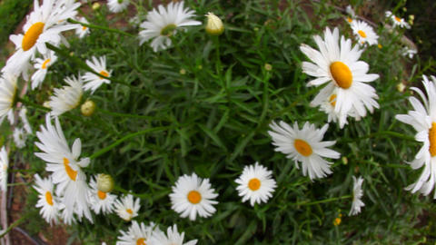 Big garden chamomile flowers Footage
