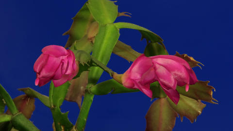 Christmas Cactus Blooming Time Laps Footage