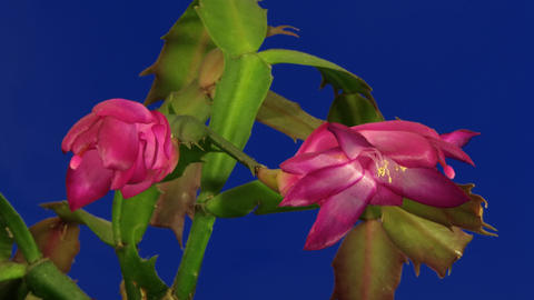 Christmas Cactus Blooming Time Laps Stock Video Footage