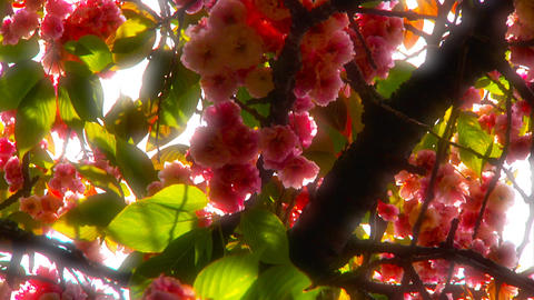 Japanese Cherry Blossom Tree ARTCOLORED 01 Stock Video Footage
