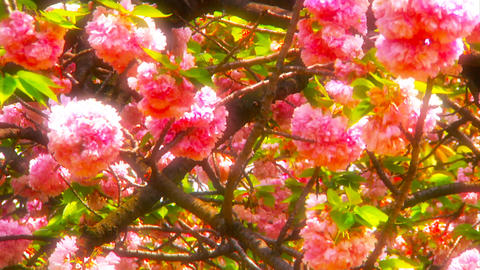 Japanese Cherry Blossom Tree ARTCOLORED 04 Footage