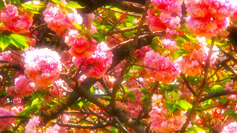 Japanese Cherry Blossom Tree ARTCOLORED 04 Stock Video Footage