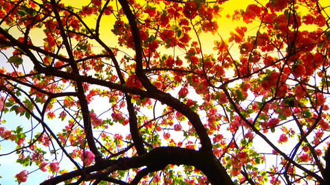 Japanese Cherry Blossom Tree ARTCOLORED 06 Footage