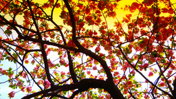 Japanese Cherry Blossom Tree ARTCOLORED 06 Stock Video Footage