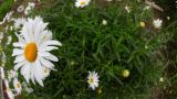 Big Garden Chamomile Flowers stock footage