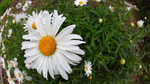 Big garden chamomile flowers Stock Video Footage