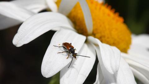 Brown beetle Stock Video Footage