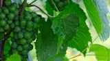 Grape stock footage