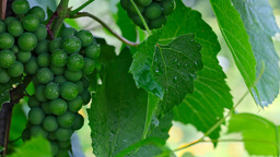 Grape Stock Video Footage