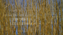 Reed In The Water Stock Video Footage