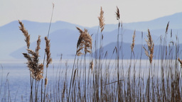 Reed Stalks Stock Video Footage