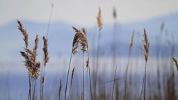 Reed Stalks Footage