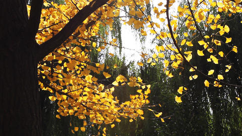 autumnal maidenhair tree Stock Video Footage
