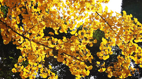 autumnal maidenhair tree Footage