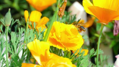 Californian poppy (Eschscholzia californica) Footage