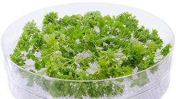 Time-lapse of drying parsley spice 1a2 (UHD-4K) Footage