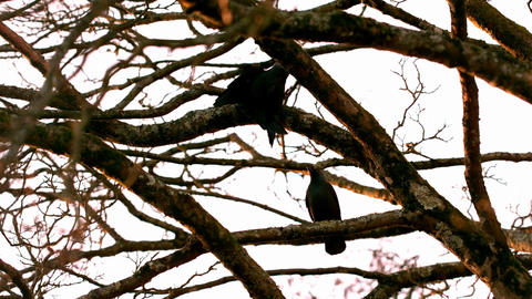 Crow flying from branch to branch Live Action