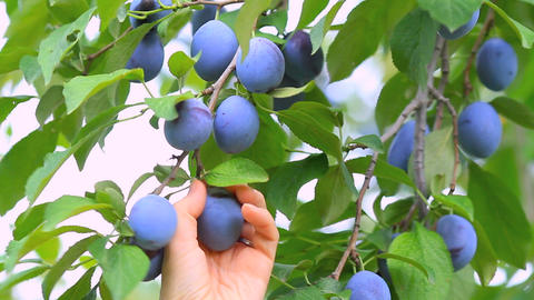 Plum Hanging On A Branch Of Plum Tree stock footage