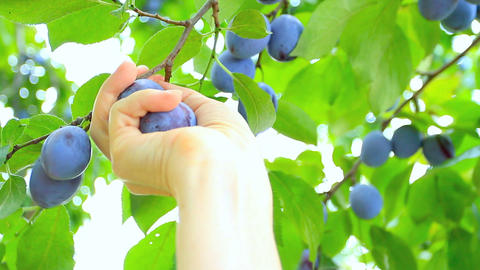 Ripe plums hand picked from plum tree Footage