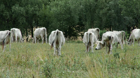 4 K Hungarian Grey Cattles in Kali Basin Hungary 4 Footage