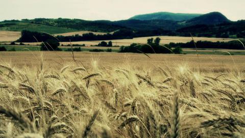 4 K Summer Lush Wheat Field 22 stylized Footage