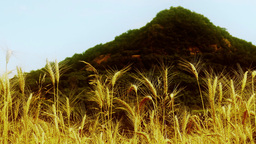 4 K Summer Lush Wheat Field And Volcanic Hill 4 St stock footage
