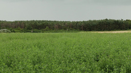 4K Summer Meadow and Pine Forest under Dull Sky 1 Live Action