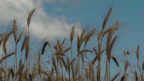 4K Summer Wheat Crops closeup lowangle Footage