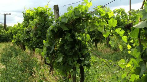 4 K Wine Grapes 3 mid summer tilt pan Footage