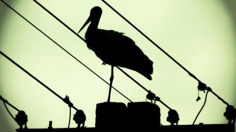 European Stork on Electric Pole 16 stylized Footage