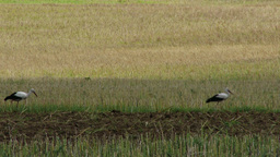 European Storks on Harvested Grain Field 1 Footage