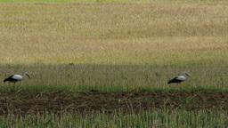 European Storks on Harvested Grain Field 1 Footage