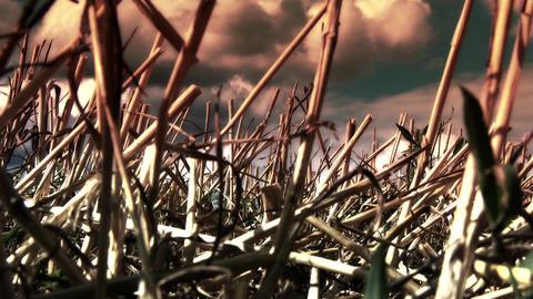 Harvested Grain Stems in Summer 2 lowangle Footage