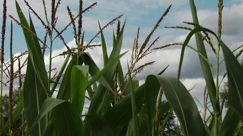 Summer Corn Field 1 closeup Footage