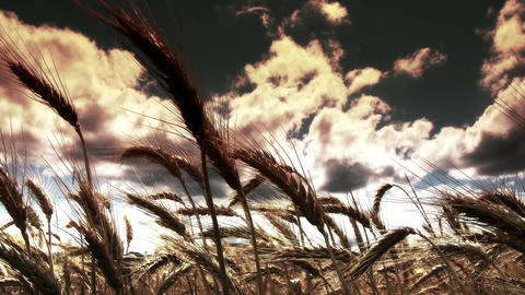 Summer Lush Wheat Field 40 wide low angle stylized Footage