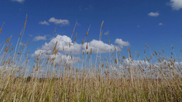 Long Grass Moving In The Wind stock footage