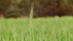 Head Of Wheat In A Green Wheat Crop stock footage