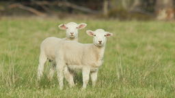 Two Cute Lambs in a Grassy Field Looking at the Ca Footage