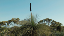 Grasstree (Balga plant) in a patch of Australian B Footage