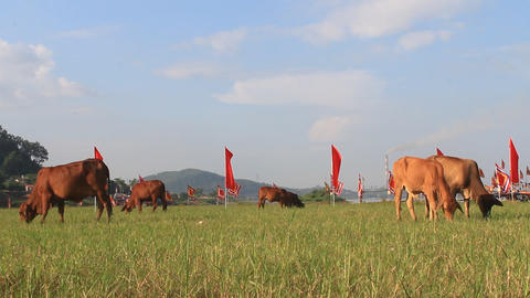 The cows graze the grass Footage