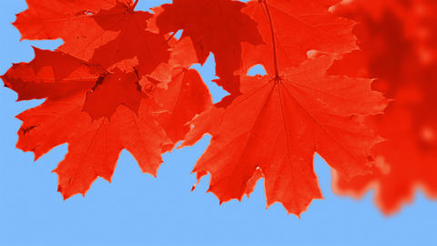Change the Color of the Leaves Footage