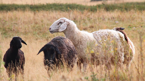 Sheep-5 Stock Video Footage
