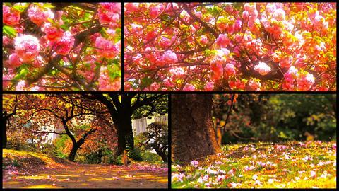 Japanese Cherry Blossom Trees Splitscreen 01 Stock Video Footage