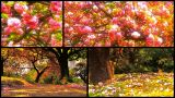 Japanese Cherry Blossom Trees Splitscreen 01 stock footage