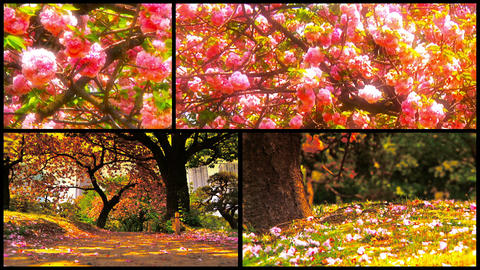 Japanese Cherry Blossom Trees Splitscreen 01 Stock Video Footage