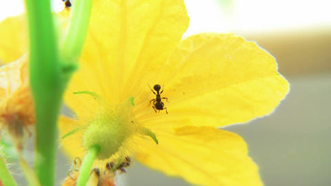 Ants on Cucumber blossom time lapse Footage