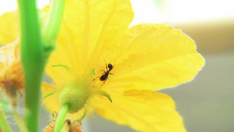 Ants on Cucumber blossom time lapse Stock Video Footage