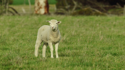 Lamb Standing in a Grassy Field Looking at the Cam Footage